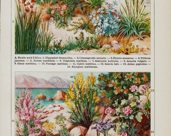 1923 Flora from the coast old print.