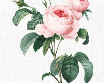 Cabbage Rose Clipart 'Pink French Roses' Digital Image Instant Download for Wall Decor, Scrapbooking, Crafts, Wedding Invitations...
