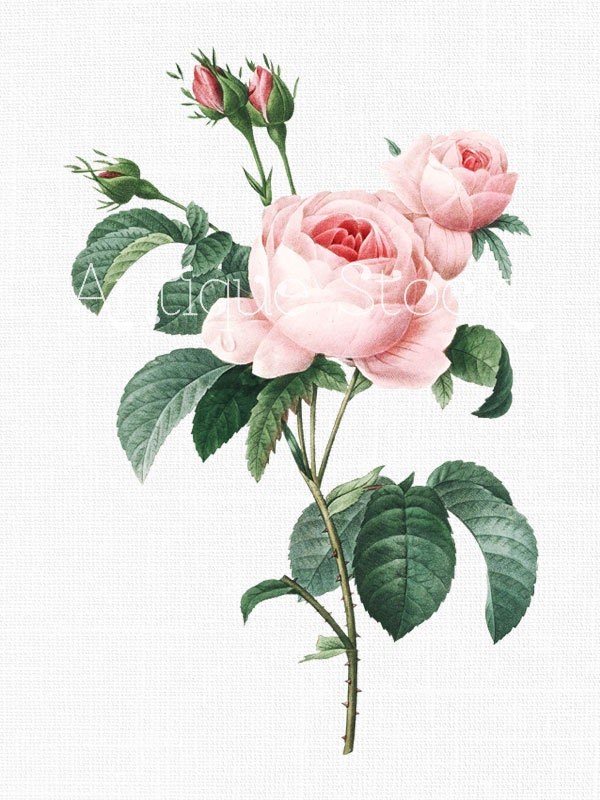cabbage rose clipart pink french roses digital image