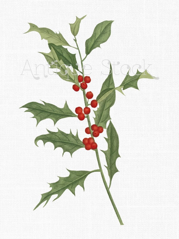 holly flower drawing