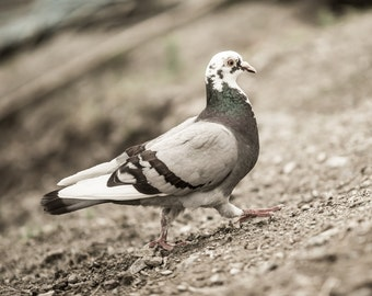 Columbidae Photography > Pigeon Photography > Bird Fine Art Print > Wanderer Photography > Nature Fine Art Photography > Animal Print > Art