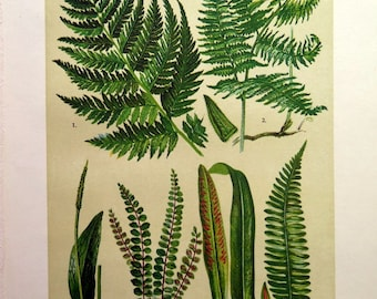 1911 Old lithograph of ferns,  vintage botanical FERN print , botany plants and flowers, woodland lady fern adders-tongue fern plate.