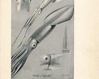 1928 Squid Antique Print