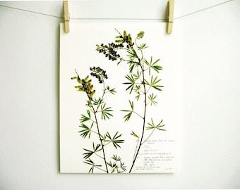 Silky Lupine Print, #178, botanical print pressed plant art pressed flower art herbarium specimen farmhouse decor scientific wall art print