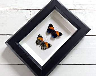 Real framed butterfly: Callicore eunomia // back & front // shadowbox // mounted