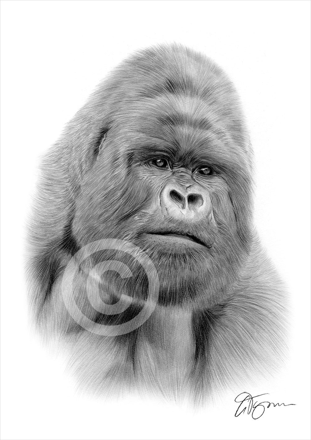 gorilla pencil drawing print a4 size artwork signed by