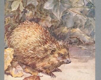 Hegehog Illustration By Barbara Briggs