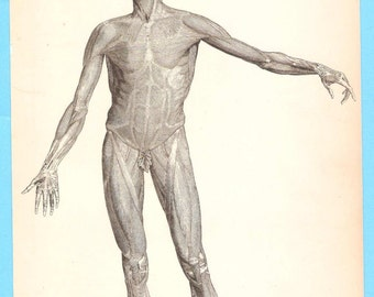 Antique scientific illustration - Physiology - Muscles