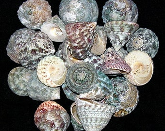 """WHOLESALE CRAFT SEASHELLS ~ Beach Washed Clean Trocha Shells from 1""""-2"""" ~ Color Shades May Vary ~ 1/2 lb. Approx. 50 Count ~ Free Shipping ~"""