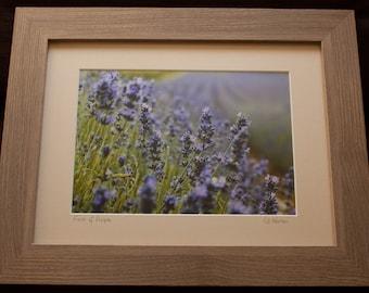 Framed Print: Fields of Purple