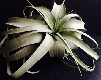 Tillandsia Xerographica Large Air Plant