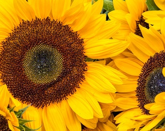 Sunflowers, French Flowers, France Photography, Rural France, Provence Photography, Summer in France, Fine Art Print, French Village