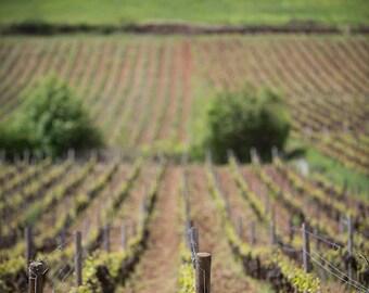 France Photography, Vineyard in Chablis, Burgundy, Rural France, French Wine, Gallery Wall Art, Fine Art Print, French Vineyard