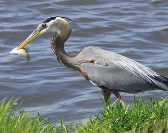 Great blue heron, fish, photo, print, nature photography, wall art, home decor, bird