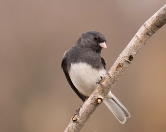 Dark eyed junco, birds, nature, photo, print, photography, wall art, home decor, snow bird