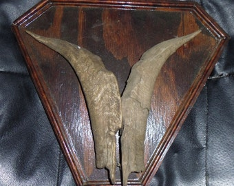 Vintage Pair of Goat Horns Mounted on Plywood Plaque
