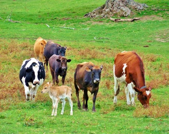DAIRY DIVERSITY--Farm Photography, Michigan Photography, Cows, Dairy Farm, Milk Cows, Farmhouse Decor, Picture of Cows, Cow Pasture, Farming