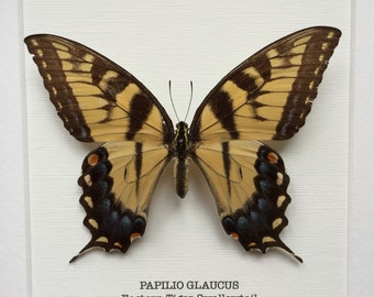 Eastern Tiger Swallowtail Butterfly Frame