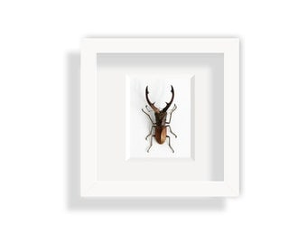 Real beetle in a frame / Stag beetle in attack position