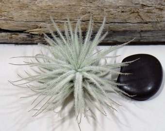 Tectorum Ecuador - Rare Tillandsia Air Plant - Tropical Terrarium Houseplant