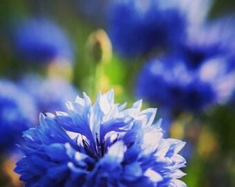 Flower Photography, Cornflowers Photography, Blue, Nature Art Print, Vibrant Wall Art, Summer Decor - Summer Breeze Cornflowers