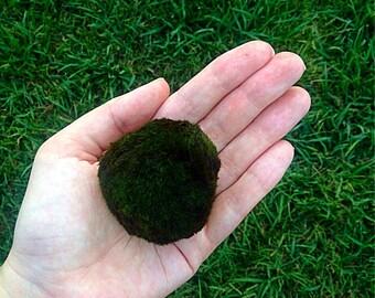 Extra Large Marimo Moss Ball/ japanese moss ball