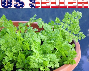 200+ ORGANIC Chervil aka French Parsley Seeds Herb Heirloom NON-GMO Fresh!