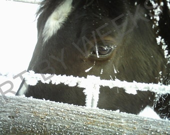 Frosted Black Horse photograph: winter day, frosty, frozen
