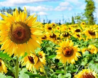 Sunflower Photography Print
