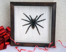 Taxidermy spider / Costa rican red tarantula / Brachypelma angustum / framed specimen / bird eating spider taxidermy specimen