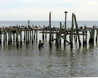 Pelicans at Cedar Key FL / Nature photography / Pelicans on Pier
