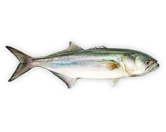Bluefish Decal - Bluefish Sticker
