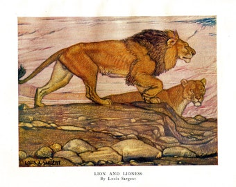 Vintage art print illustration african lion & lioness panthera leo big cat by A Sargent. 20x28 cm 100 years old original antique lithograph