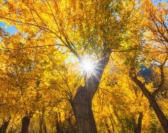 Aspen Star - Landscape photo of an Aspen tree during Fall with a sunstar