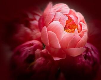 Blooming Peony - Original Photograph