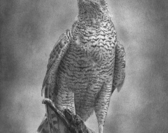 Falcon portrait by evgeniyfill82, 8 x 12 inch, graphite on the paper