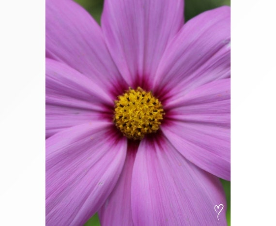 Purple Photograph | Let It Shine! Light Purple Flower Print and Flower Wall Art.