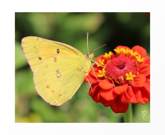 Butterfly Wall Art - Yellow Butterfly and Red Flower! Flower Fine Art Prints and Butterfly Art Prints.