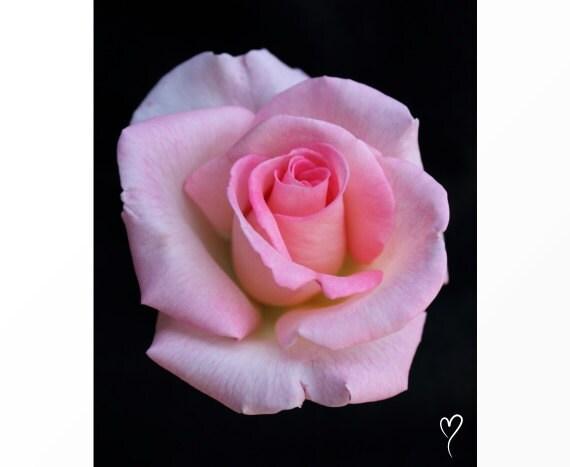 "Rose Photograph, ""Pink Tea Rose"" Rose Print, Pink Rose Art, Fine Art Print, Rose, Pink Wall Decor, Pink Wall Art, Modern Decor"
