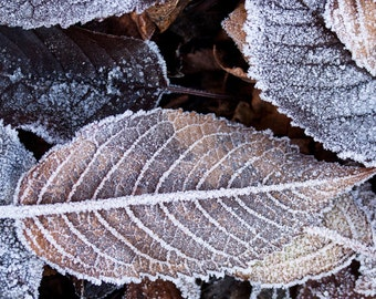 AUTUMN LEAVES, WINTER Print, Nature Art, Frost, Winter Frost, Fall Leaves, Frozen Ground, Rustic Decor, Fine Art, Large Photo, Big Picture