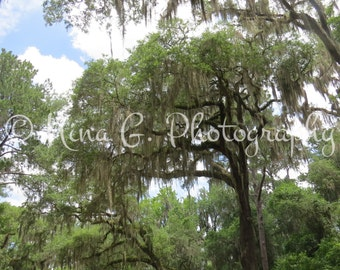 Scenic Photo Treetop Spanish Moss Ancient Crooked Branches Summer Sky Photograph