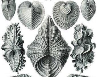 Haeckel Acephala