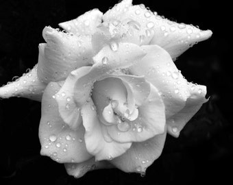 Rose in Black & White note cards.