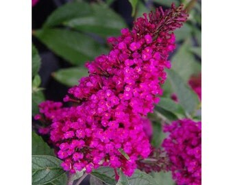 Buzz Hot Raspberry Butterfly Bush, Vivid Pink Color, Potted Plant, Landscaping, Bush, Super Roots, Butterflies, Blooming, Showy, Flowering