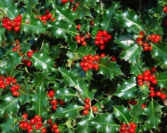 """Nellie R Stevens Holly Tree - 12 Pack, 4"""" Potted Plants, Evergreen, Landscaping, Holly Bush, Live Plants, Winter Berry, Super Roots"""