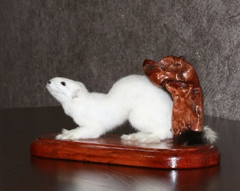 White Ermine - Taxidermy Mount, Stuffed Animal For Sale - Stoat, Weasel - ST3164