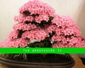 Hight Quality Prunus Serrulata Japanese Sakura Flowering Cherry Bonsai Tree 10 Seeds