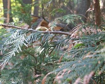 The Pretty Pine Trees