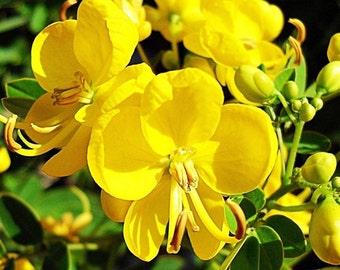Cassia Tora 20 OR 500 Seeds, Senna Tora A Wide Range Of Diverse Uses, Garden Edible Herb