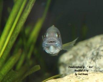 "Pseudotropheus sp. ""Acei"" - African Cichlid"